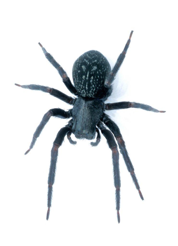 Australian Black House Spider. Attribute: CSIRO