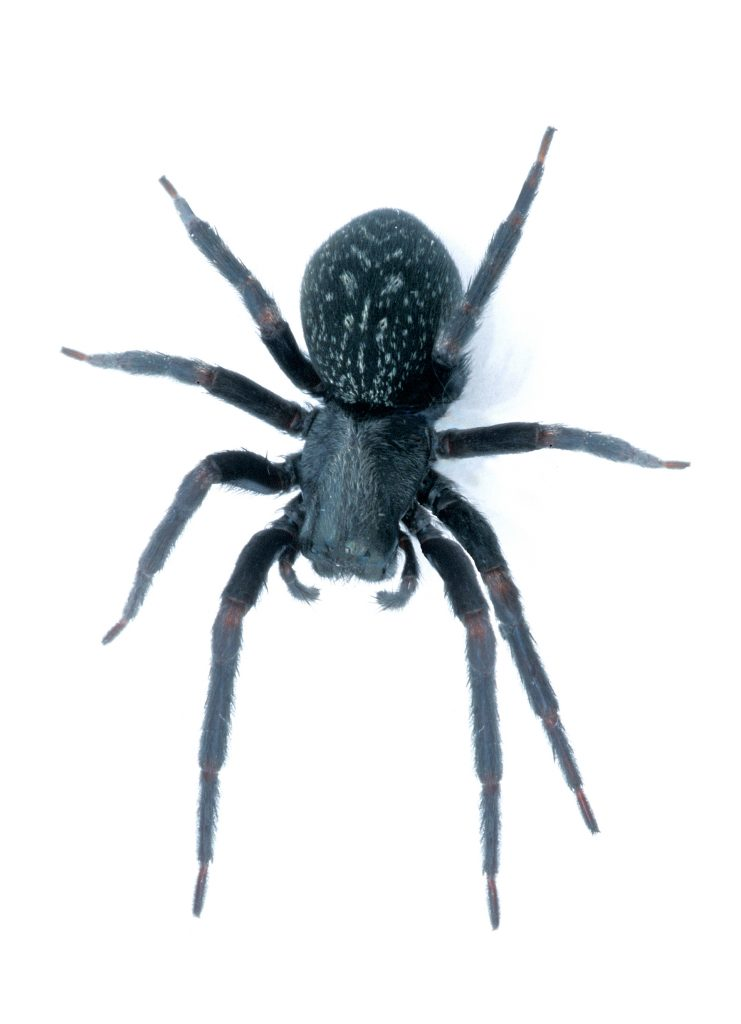 Australian Black House Spider. Attribute: CSIRO